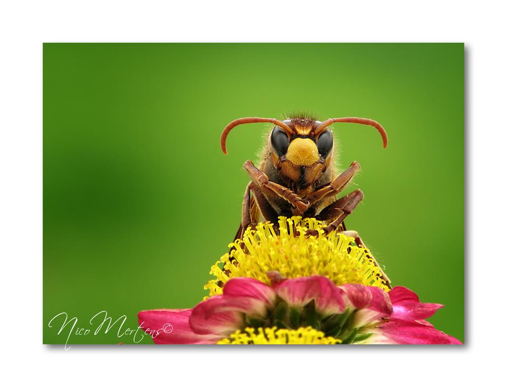"""Hoornaar - Hallo...  gisteren was het nog op het nieuws bij ons...""""man sterft na steek van hoornaar""""...best gevaarlijke beestjes dus...vandaag vind ik er toch - foto door smeagol op 29-07-2011 - deze foto bevat: macro, wesp, hoornaar, s5, smeagol"""