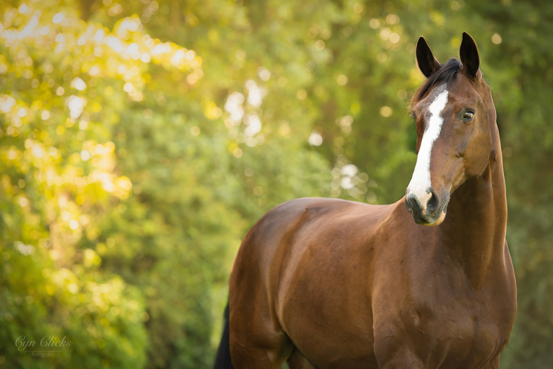 Amadeus Asti Spumante GC - - - foto door iCyn op 09-07-2020 - deze foto bevat: paard, paardenfotografie, paardenportret, kwpn, natuurlijk licht, oldenburger