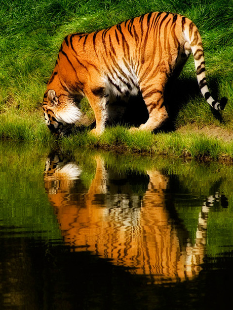 tijger reflectie
