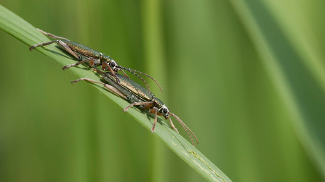 Liefde van de rietkevers