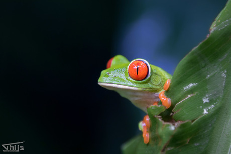 Rood oog boomkikker in Costa Rica