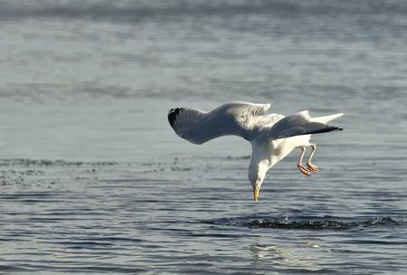 uit de lucht komen vallen - zilvermeeuw - foto door AnneliesV op 22-03-2021 - deze foto bevat: water, meeuw, natuur, dieren, vogel, watervogel