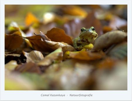 Kikker tussen de herfst bladeren - Kikker..  90mm  iso 400  1/60sec  -  f/4.5 - foto door CemalKazankaya op 23-11-2015 - deze foto bevat: groen, paars, macro, bladeren, kikker, natuur, bruin, geel, oranje, herfst, dof, bokeh, cemal kazankaya