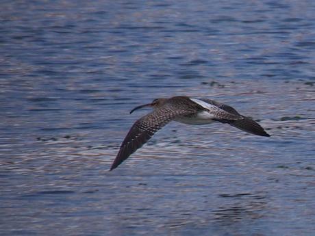 wulp vlucht lagune Isla Cristina 16-12-14.jpg
