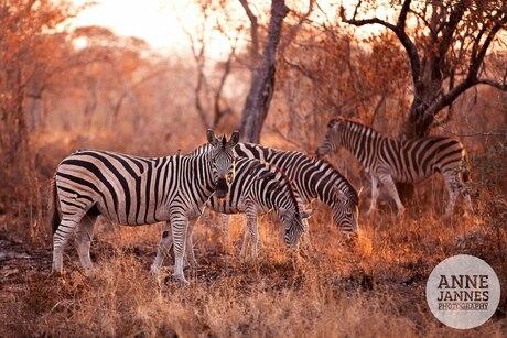 zebra sundown