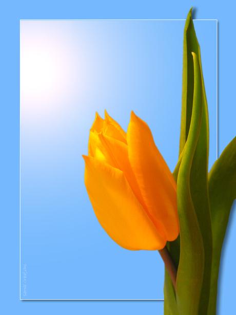 Zonnige Gele Tulpen! 2