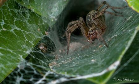 Spin met kokervormig web - In de Rododendron struik had zich een spin genesteld met een kokervormig web. Bij het nazoeken om wat voor spin het gaat vond ik de benaming, vrij lo - foto door jansteketee op 26-07-2015 - deze foto bevat: spin, insect
