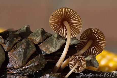 paddenstoel 2