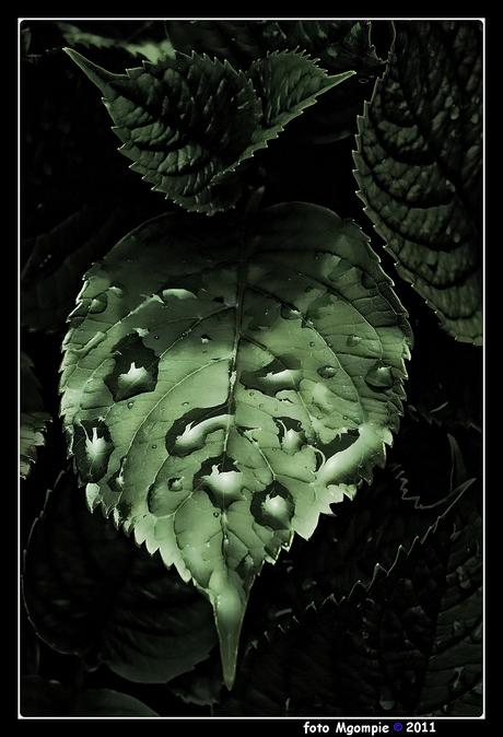 Low key hortensiablad