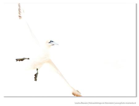 All time high - Jan van Gent in vlucht, fotoreis Helgoland 2014. High key fotografie is in principe het elimineren van schaduwen door te meer licht in de camera toe - foto door LoulouBeavers op 27-06-2014 - deze foto bevat: natuur, dieren, wildlife, vlucht, helgoland, jan van gent, high key