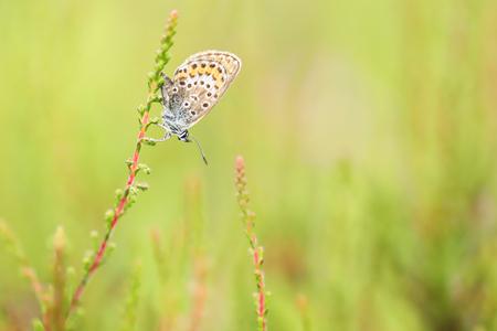 Heideblauwtje - Heideblauwtje aan heide. - foto door ErikV74 op 12-07-2020 - deze foto bevat: macro, natuur, vlinder, zomer