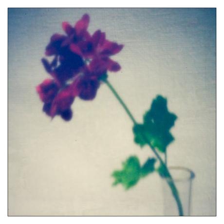 geranium pinhole