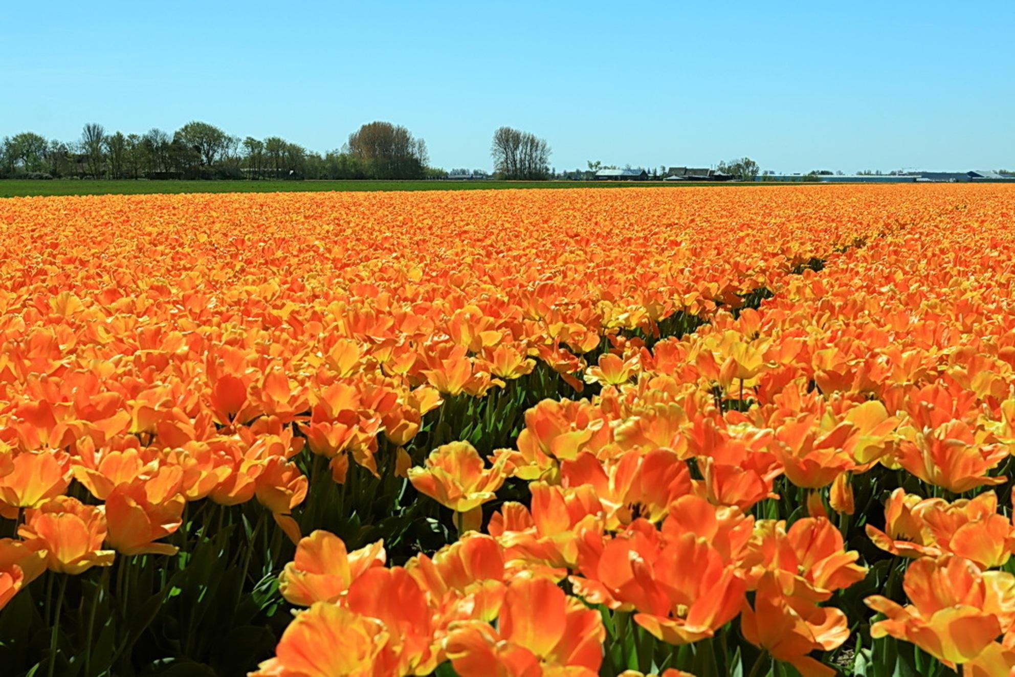 oranje veld - Hier maar weer een foto die genomen is tijdens onze fietstocht door de bollenstreek. 05-05-2016.  Groet Roland - foto door ro op 27-07-2016 - deze foto bevat: oranje, landschap, noordwijk, landschappen, voorhout, bollenveld, tulpenveld, bollenstreek
