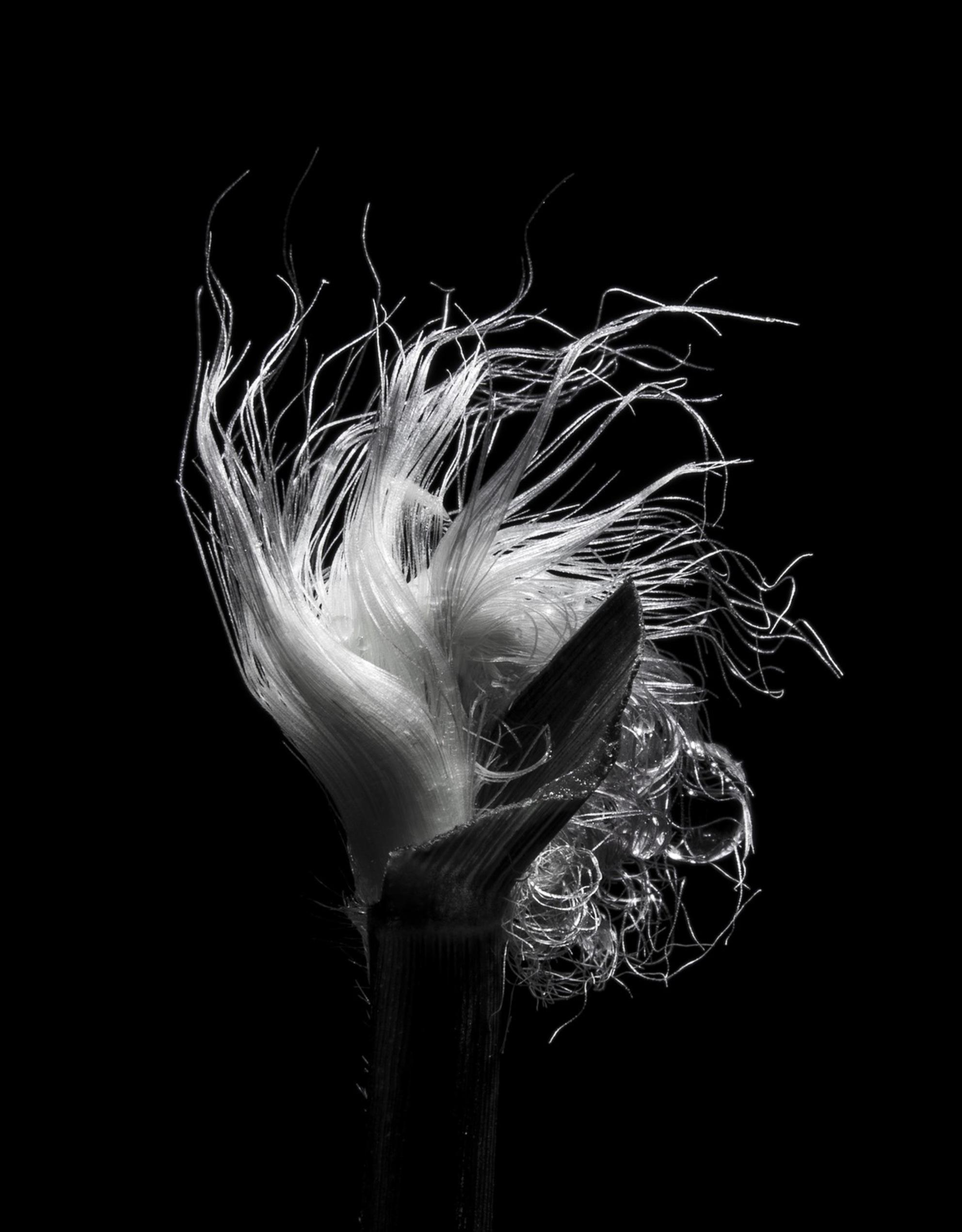 Pennisetum - Pennisetum - foto door emilewiersum op 29-12-2017 - deze foto bevat: gras, macro, bloem, natuur, druppel, tuin, zwart, Pennisetum