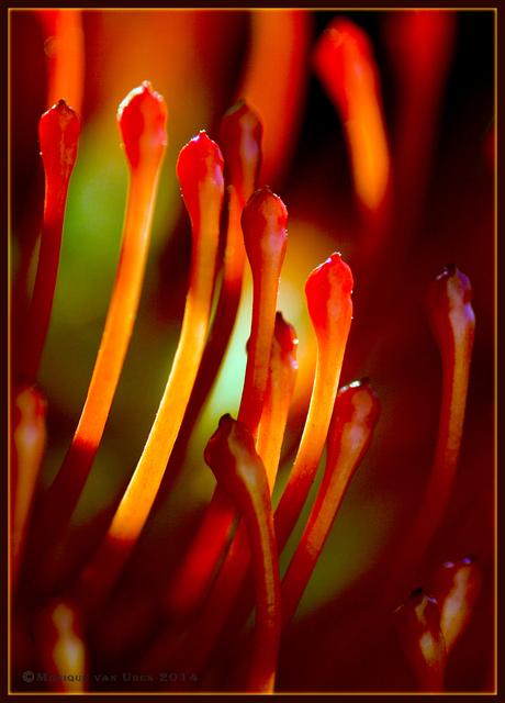Protea Nutan - Leucospermum nutans