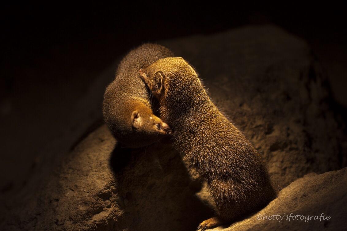 Samen - Echte liefde duurt een levenlang.....  Hetty - foto door hettysfotografie op 02-09-2014 - deze foto bevat: dierentuin, natuur, dieren, emmen, woelrat