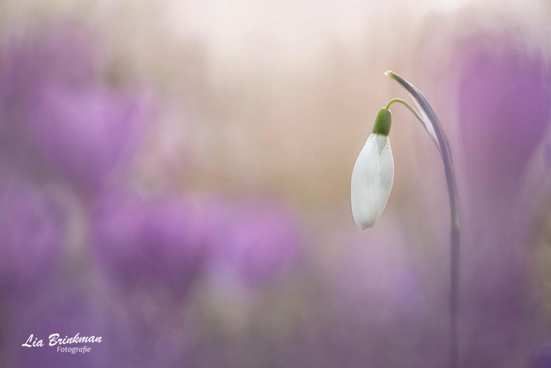purple mood - Purple mood Op een vroege ochtend dit sneeuwklokje op de foto gezet tussen allemaal paarse krokussen. - foto door hulsman op 26-02-2021 - deze foto bevat: roze, groen, paars, macro, wit, zon, bloem, lente, natuur, druppel, licht, ochtend, oranje, tegenlicht, dauw, sneeuwklokje, dof, krokussen, bokeh, hulsman, purple mood
