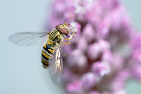 zweefvlieg - - - foto door JeanneW op 02-07-2018 - deze foto bevat: macro, insect