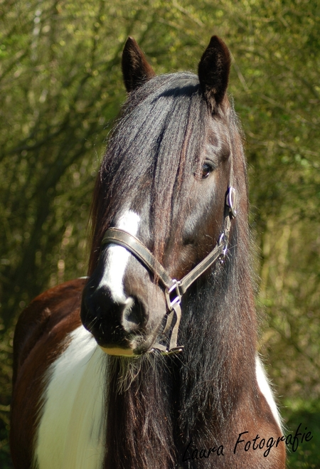 Dingle - Dingle mijn paard, voor het eerst nieuwe camera uit proberen. - foto door laurafotografie op 12-04-2011 - deze foto bevat: paard, bos, irish, dingle, tinker, cob