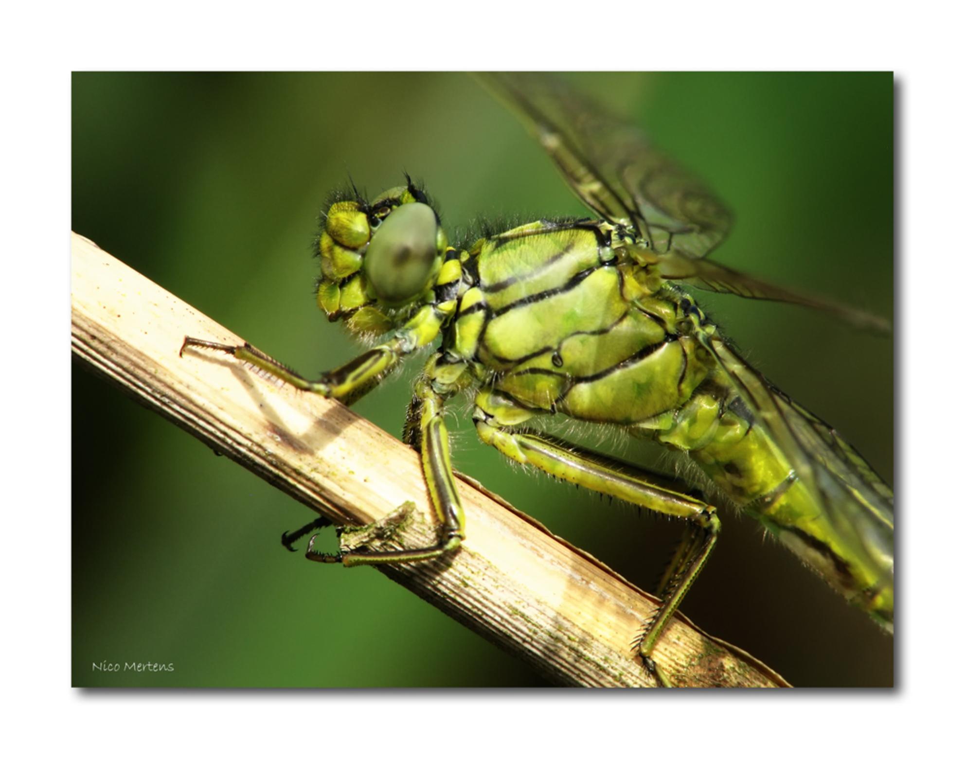 Plasrombout 3!! - Hallo...  tja, toch nog maar eentje van de plasrombout...:)...  iedereen ook weer bedankt voor de reacties bij mijn vorige foto...  Grtz, Nico - foto door smeagol op 03-06-2010 - deze foto bevat: macro, libel, s5, smeagol, plasrombout, 250d, close up - Deze foto mag gebruikt worden in een Zoom.nl publicatie