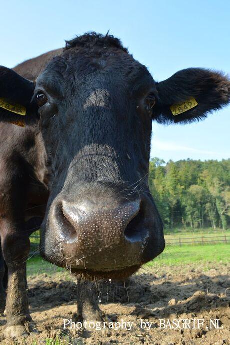Wagyu koeien