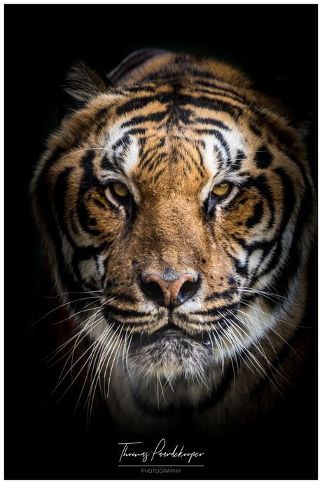 Tijger stichting leeuw