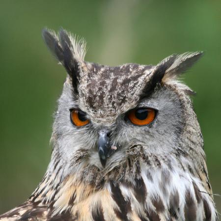 Knap Uiltje - De laatste serie uit Falconcrest. Een behoorlijk grote uil, met een blik in zijn ogen zo van, En jij denkt dat van mij af te pakken. Ech nie. Hij hap - foto door Wiro op 07-11-2010 - deze foto bevat: uil