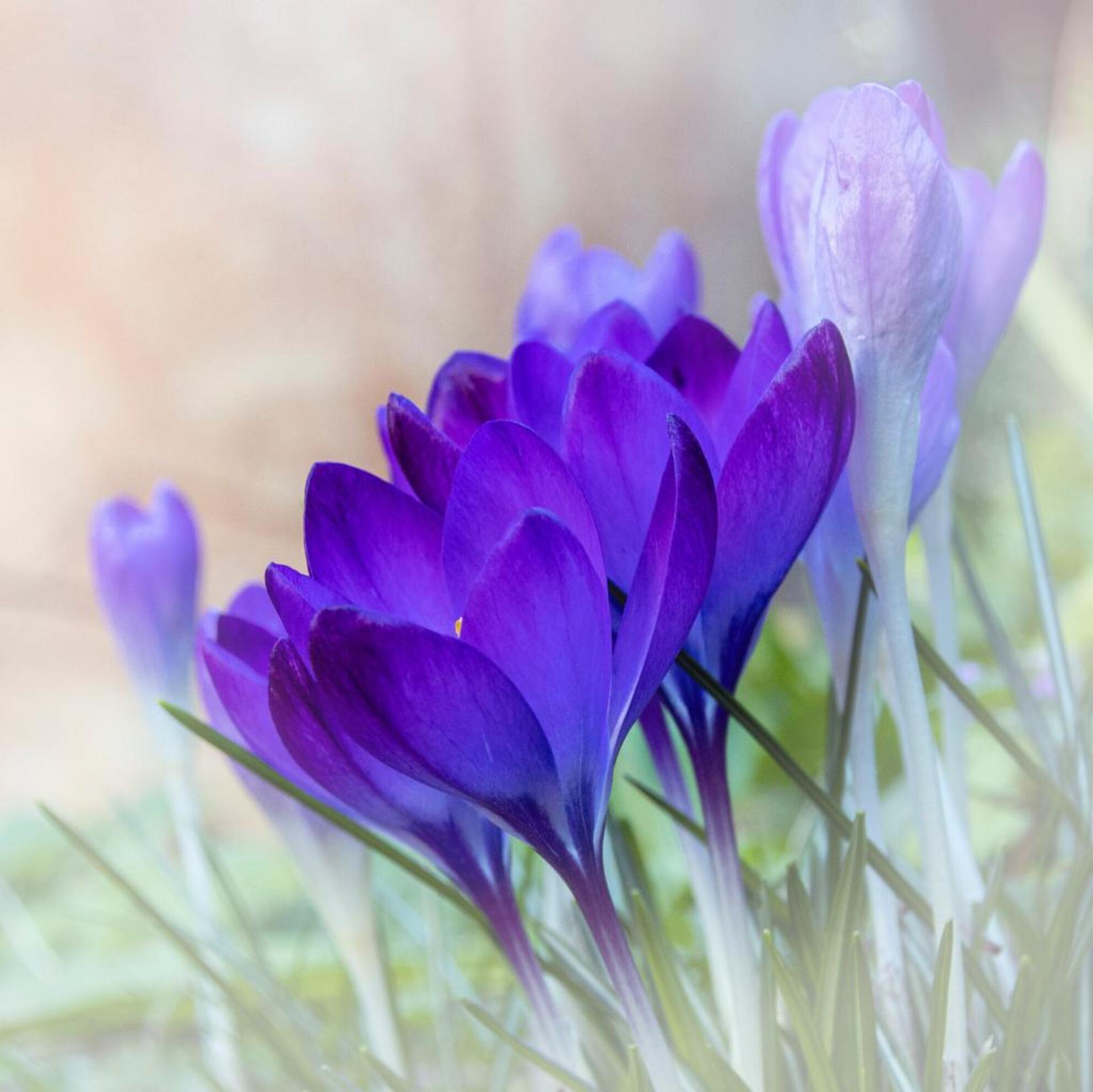 Voorjaar - - - foto door Peerfoto op 05-03-2021 - deze foto bevat: macro, bloem, lente, tuin - Deze foto mag gebruikt worden in een Zoom.nl publicatie