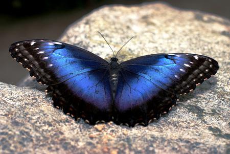 Morpho peleides - - - foto door DiNozz0 op 19-04-2009 - deze foto bevat: vlinder, -, dinozz0