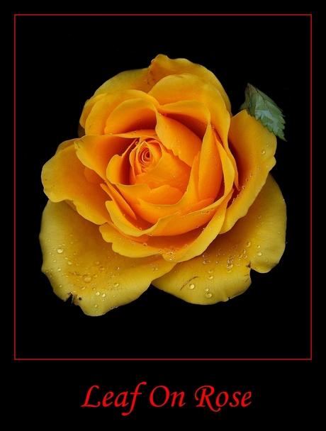 Leaf on Rose...