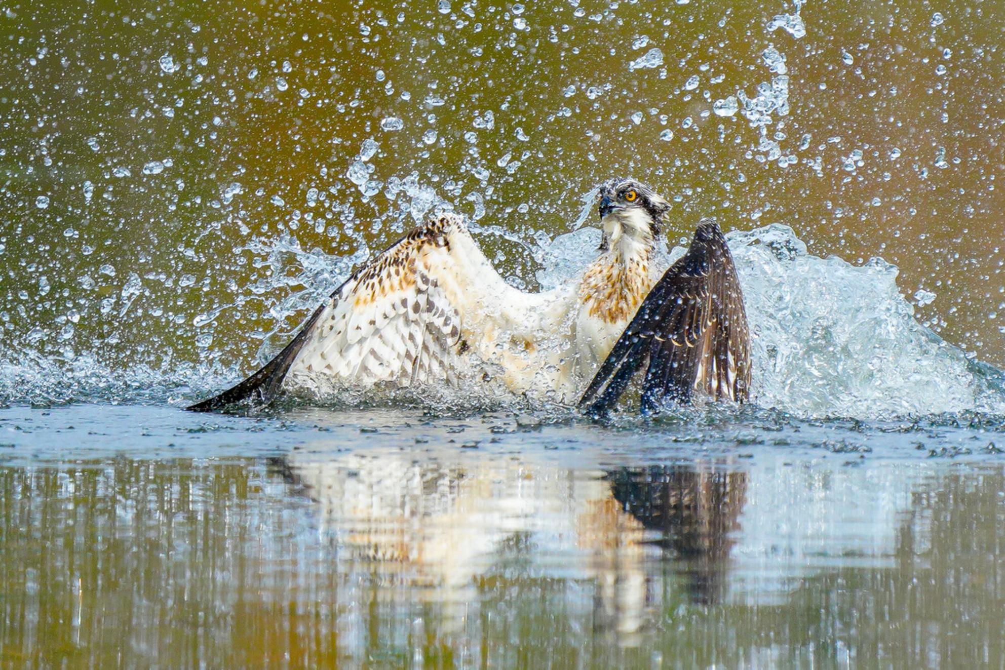 Visarend na een geslaagde duik - Deze jonge visarend kwam uit het water tijdens deze geslaagde duik. - foto door Geertjeg op 21-10-2020 - deze foto bevat: dieren, watervogel, roofvogel, wildlife, jong, visarend