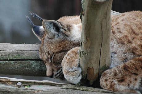 Slapende lynx