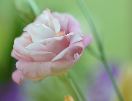 Roosje - Ik hoop dat dit voorlopig één van de laatste foto's is die ik binnen hebt gemaakt. Hoewel het ook wel erg leuk is om bossen bloemen te fotograferen!  - foto door andersonc op 24-03-2013 - deze foto bevat: roze, macro, roosje, bloemen