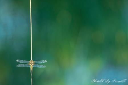 Goud - Ik zat gisterenmiddag heerlijk in de schaduw onder bomen aan een prachtig meertje. De wind waaide heerlijk over het meertje en de libellen vlogen me  - foto door Francis-Dost op 07-06-2018 - deze foto bevat: groen, macro, water, lente, natuur, libel, insect, dof