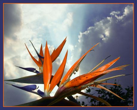 Paradijs bloem