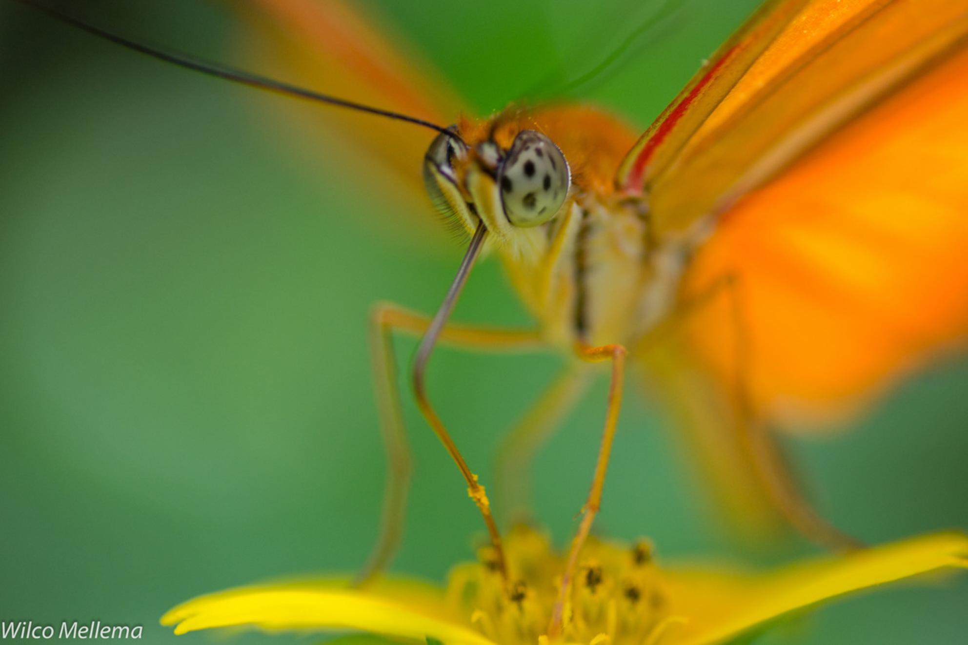 Vlinder 3 - Een vlinder in de Hortus Botanicus in Amsterdam. - foto door wilcofm op 30-08-2012 - deze foto bevat: amsterdam, macro, vlinder, geel, vlinders, hortus, botanicus