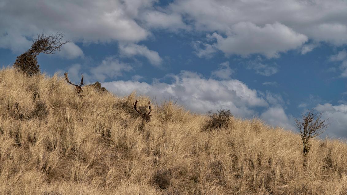Op de uitkijk - Afgelopen weekend een heerlijke wandeling gemaakt in de AWD het  prachtig weer aan de kust. Deze damherten hielden verdekt opgesteld alles goed in de - foto door daan de vos op 01-03-2021 - deze foto bevat: natuur, damhert, hert, awd