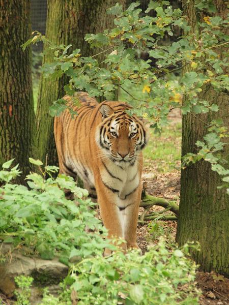 I see u - Tijger in Ouwehands dierenpark. Moest wel veel geduld hebben, voordat het juiste plaatjes geschoten kon worden. - foto door bamm op 31-10-2010 - deze foto bevat: tijger