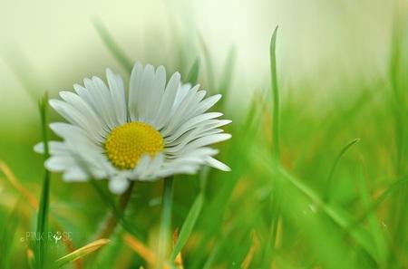 MadeLief! - MadeLief! Dank voor de reacties op de vorige upload, blij mee! Lfs Marieke - foto door PinkRosePictures op 23-03-2021 - deze foto bevat: groen, macro, lente, natuur, geel, madelief, dof