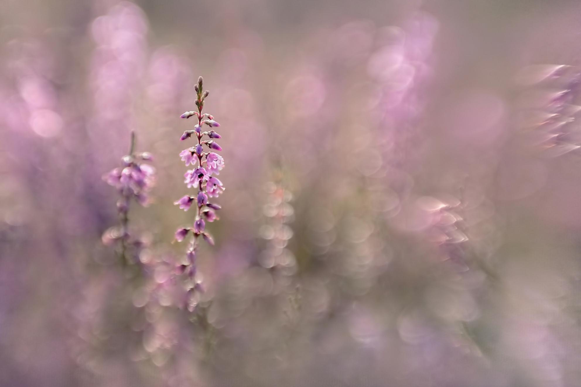 Heide - Tussen de heide gelegen met de Lensbaby Sweet 50 met macroconverters. Heerlijk om mee te spelen. - foto door NelTalen op 04-09-2016 - deze foto bevat: roze, macro, bloem, licht, bokeh - Deze foto mag gebruikt worden in een Zoom.nl publicatie