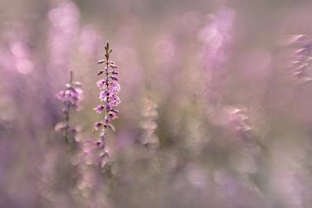 Heide - Tussen de heide gelegen met de Lensbaby Sweet 50 met macroconverters. Heerlijk om mee te spelen. - foto door NelTalen op 04-09-2016 - deze foto bevat: roze, macro, bloem, licht, bokeh
