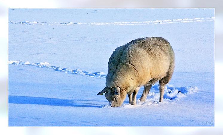 Cold Days 2 - Foto nummer 2 van de 4 uit mijn serie 'Cold Days'.  En koud was het, maar ook heel mooi!  Pas dan zie je hoe niet-wit een schaap eigenlijk is ;) - foto door daniel44 op 26-12-2009 - deze foto bevat: spoor, sneeuw, winter, ijs, schaap, koud, 2009