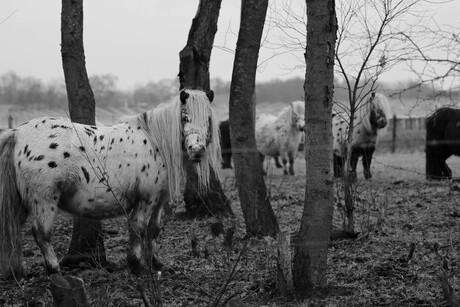 zwart wit pony