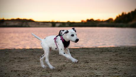 Dalmatier pup tijdens zonsondergang