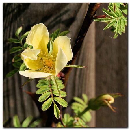 Hidcote Gold - Roos Hidcote Gold was gister de eerste roos bij mij in de tuin die ging bloeien. Vanmorgen was het wel droog en zag het bloempje er veel beter uit.  - foto door MarnixBakker op 02-05-2010 - deze foto bevat: bloem, roos, stekel, Hidcote Gold