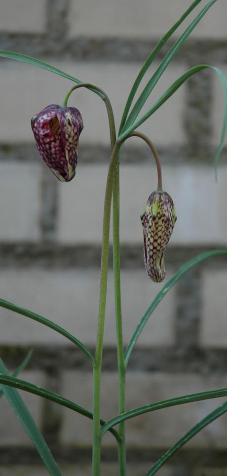 kievietsbloem