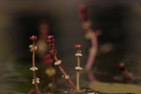 bloeien in de vijver - een foto van de bloeiende lelies in onze vijver - foto door kjellmargodt op 30-04-2011 - deze foto bevat: bloem, water, vijver, knop, canon, eos, bloeien, 500d