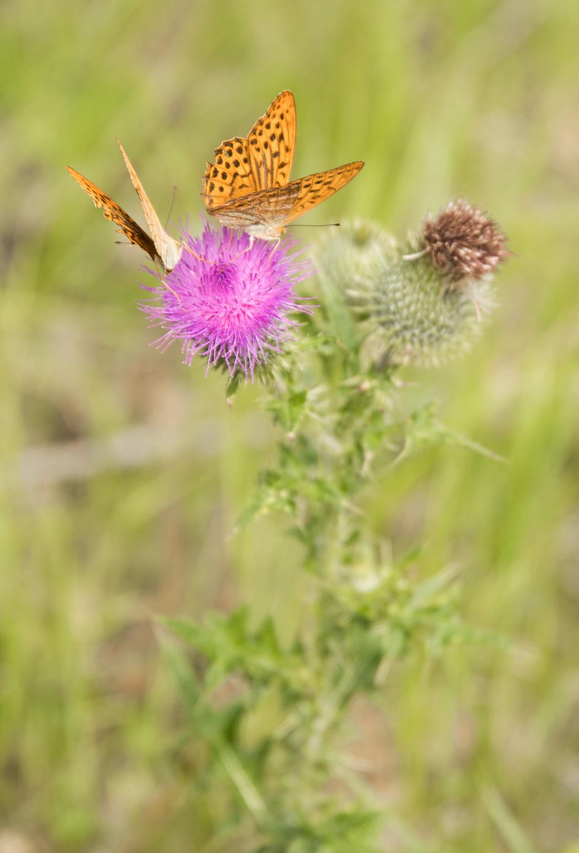 Twins - Deze twee vlinders hadden het voorzien op dezelfde bloem. Na wat gefladder zijn ze er toch maar samen op gaan zitten. - foto door antine_vdz op 31-07-2017 - deze foto bevat: roze, paars, macro, bloem, natuur, vlinder, oranje, zomer, awd, insect, bokeh, Amsterdamse Waterleidingsduinen