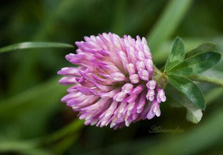 Lila bloem in het gras