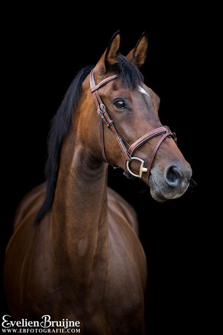 Blackfoto Edine - - - foto door EvelienBruijne op 28-07-2020 - deze foto bevat: paard, kwpn, blackfoto